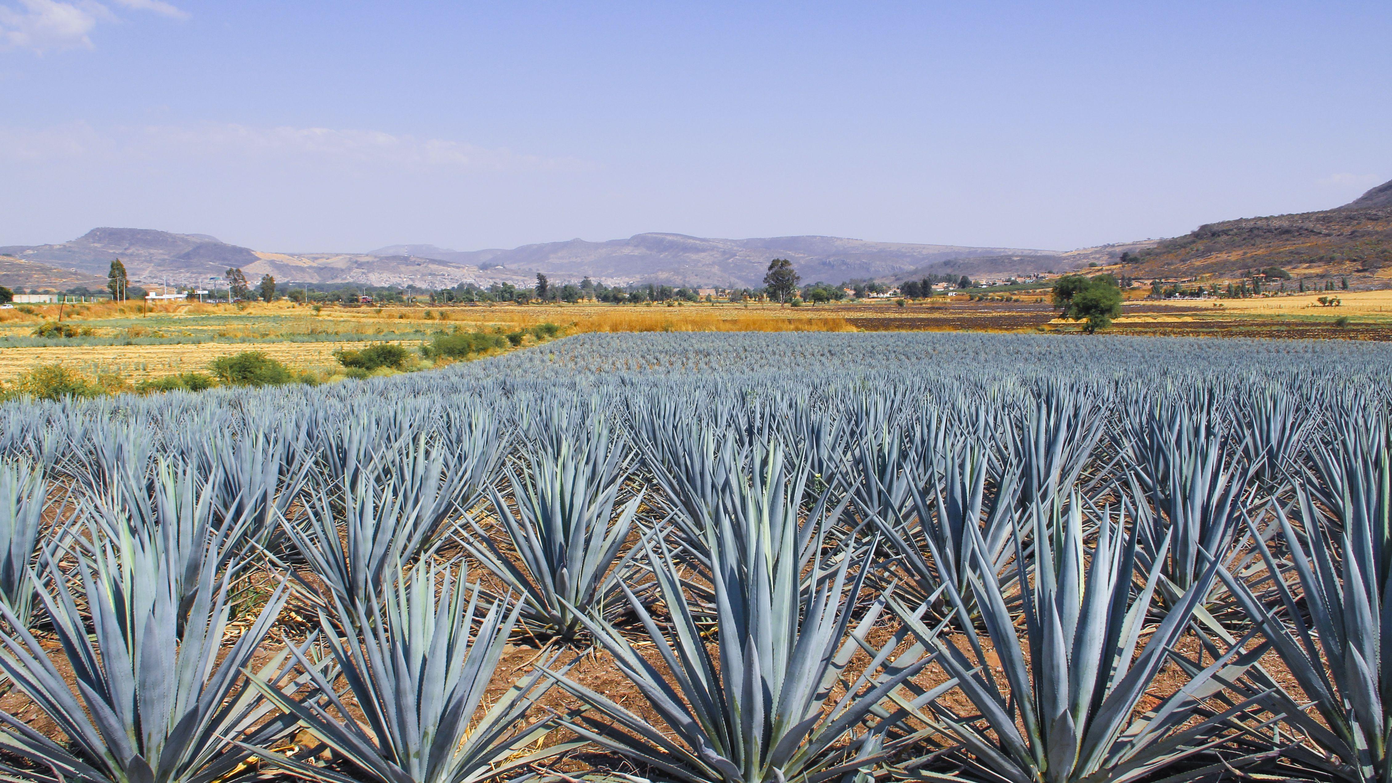 Borracha Mexican Cantina agave fields